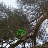 vajicko borovice